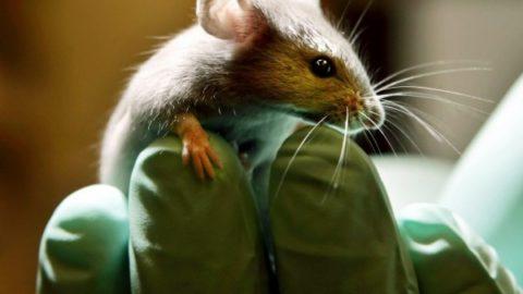 Ricerca: farmaci diuretici eliminano i sintomi autismo nei topi